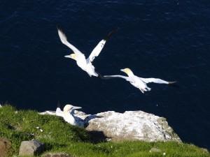 Suler - Færøerne